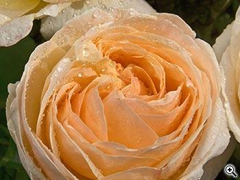 Rosier à Grandes Fleurs Sherazade