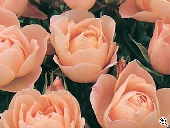 Rosier à Fleurs Groupées Sweet Dream