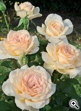 Rosier à Grandes Fleurs Sweet Love