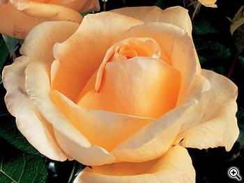 Rosier à Grandes Fleurs Tassili