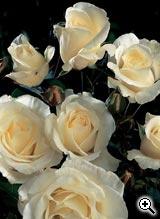 Rosier à Grandes Fleurs Thérèse de Lisieux