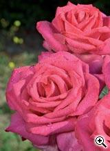 Rosier à Grandes Fleurs X X L
